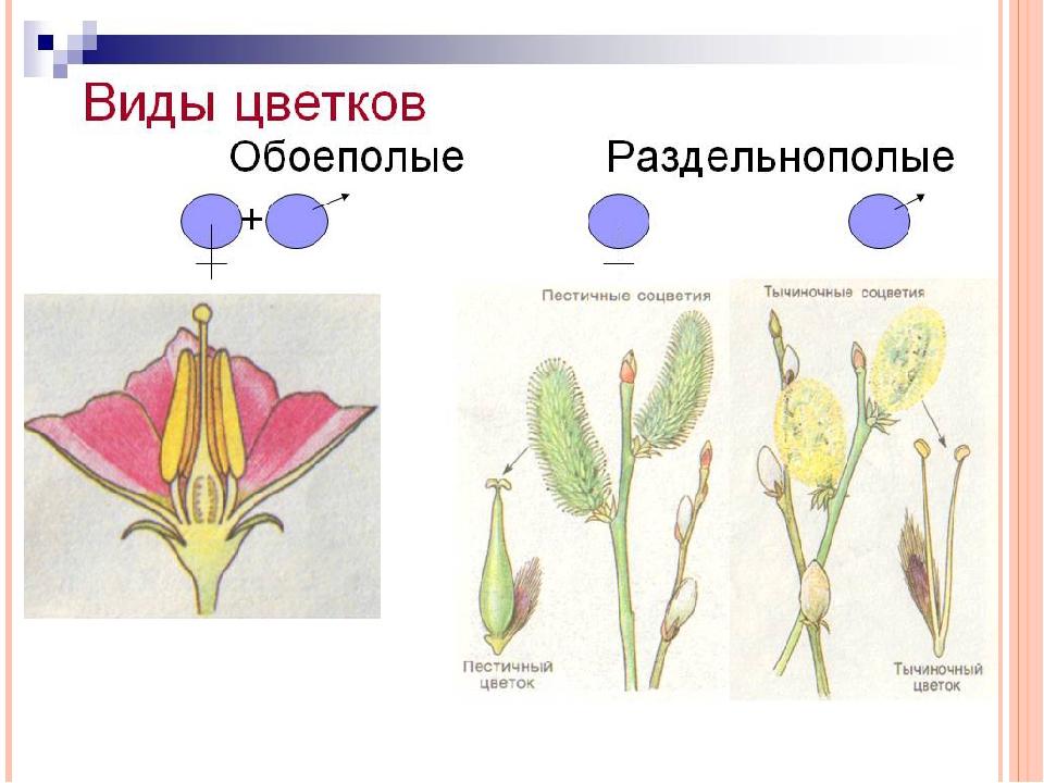 нашли картинки обоеполого цветка стране чудес много