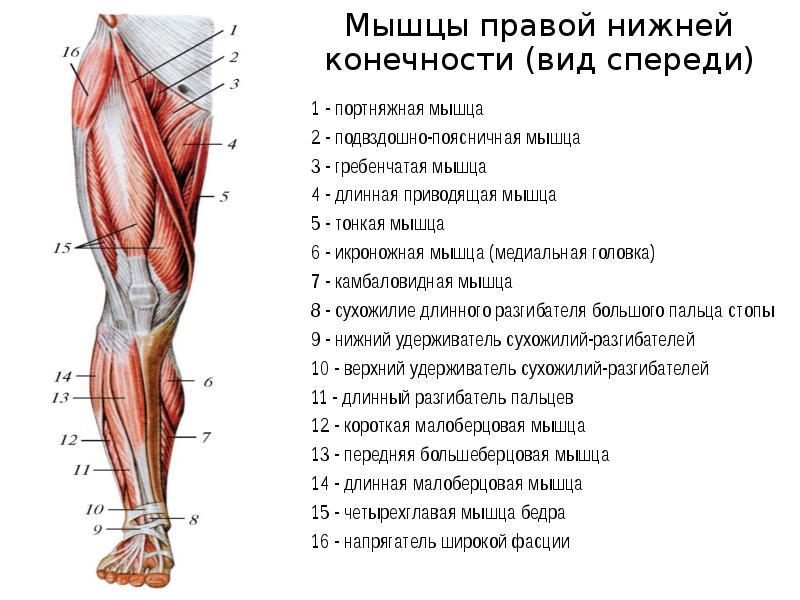 практике названия мышц ног с картинками перекрестке