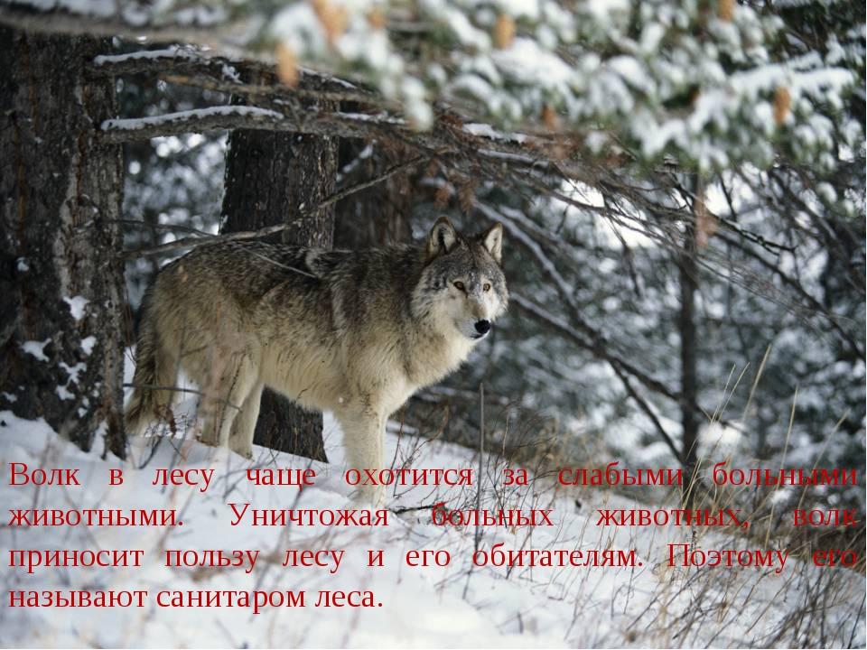 Не волки а санитары леса картинки