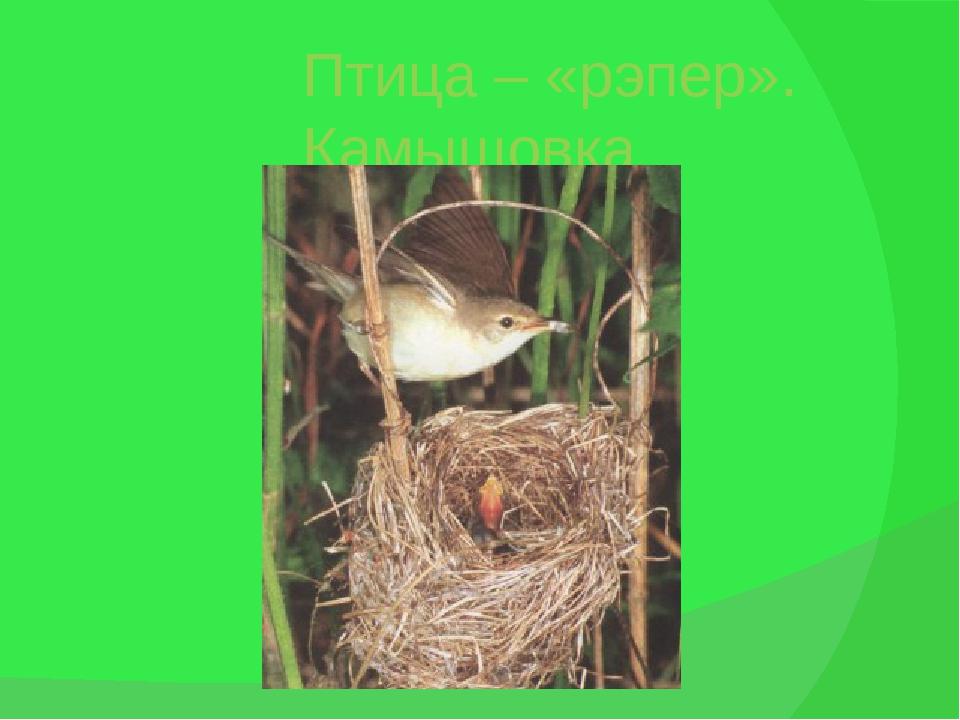 Птица – «рэпер». Камышовка