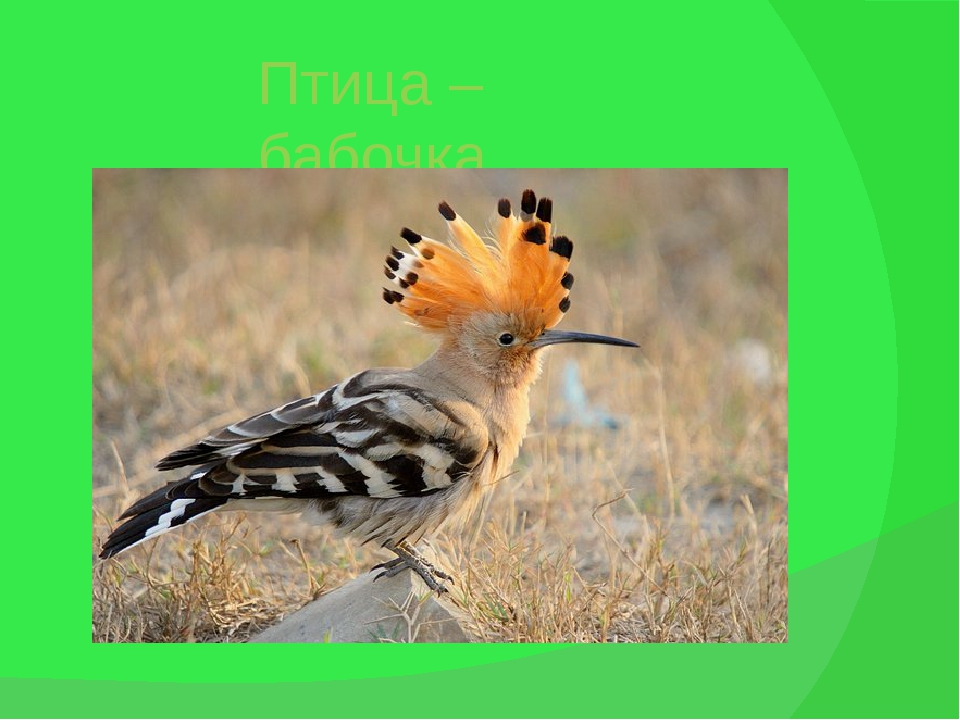 Птица – бабочка. Удод.