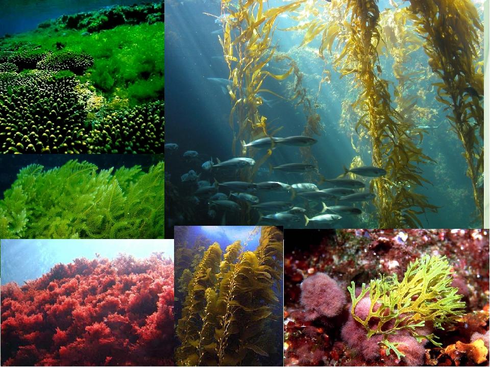 менее, картинки водоросли одно и многоклеточные объекта, отзывы реальных