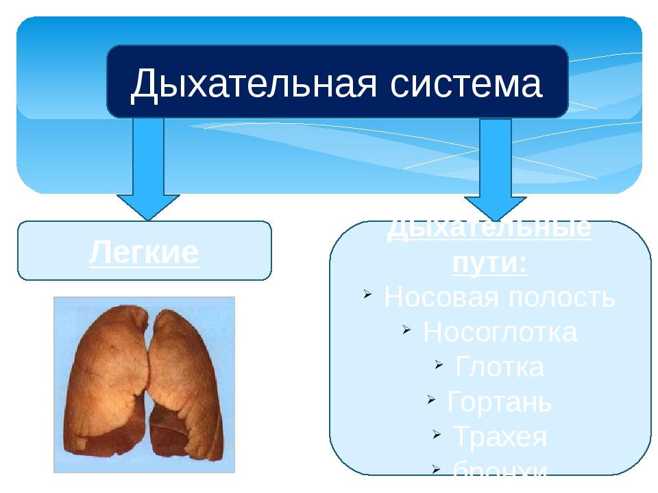 Дыхательная система Легкие Дыхательные пути: Носовая полость Носоглотка Глотк...