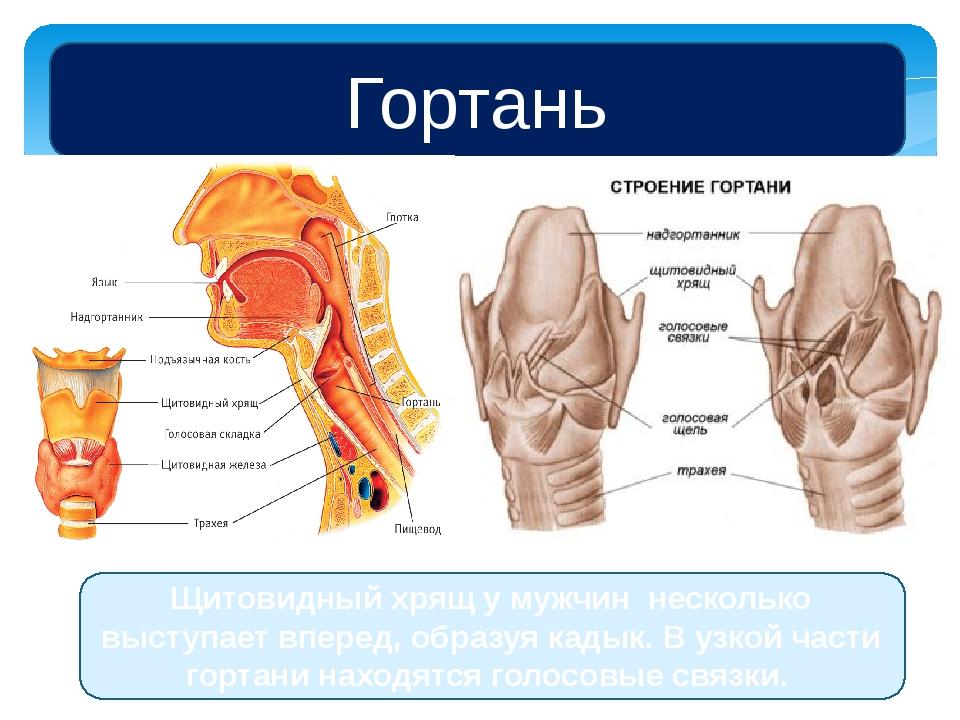 Гортань Щитовидный хрящ у мужчин несколько выступает вперед, образуя кадык. В...