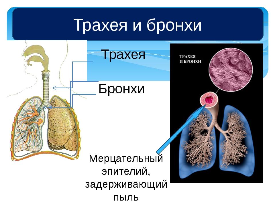 Трахея и бронхи Трахея Бронхи Мерцательный эпителий, задерживающий пыль