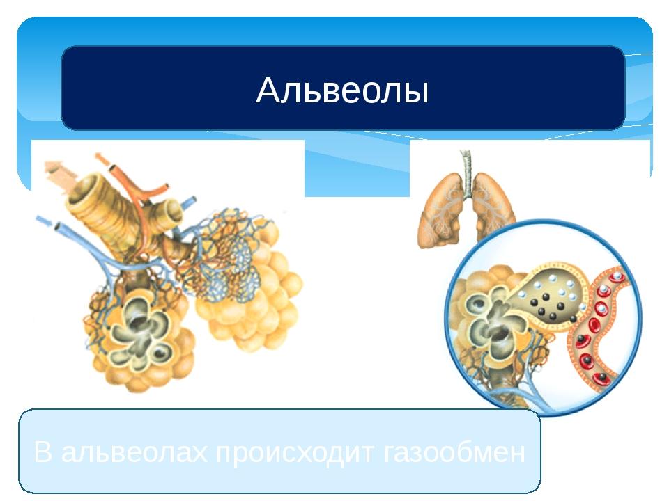 Альвеолы В альвеолах происходит газообмен