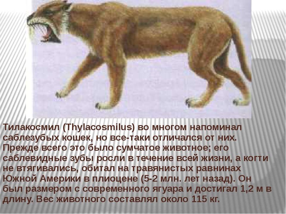Тилакосмил (Thylacosmilus) во многом напоминал саблезубых кошек, но все-таки...