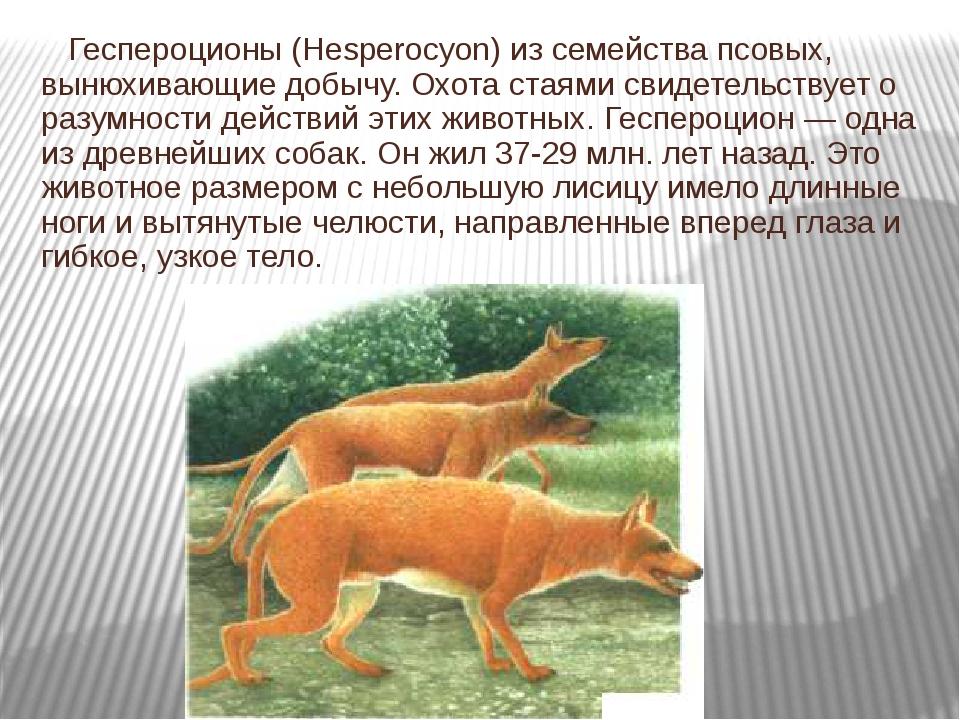 Геспероционы (Hesperocyon) из семейства псовых, вынюхивающие добычу. Охота с...