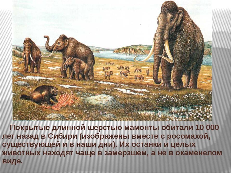 Покрытые длинной шерстью мамонты обитали 10 000 лет назад в Сибири (изображе...