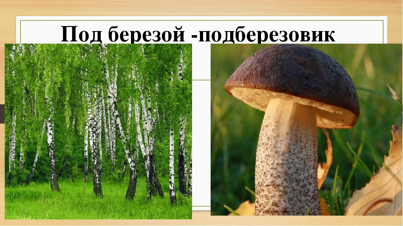 картинка гриб подберезовик под березой труда