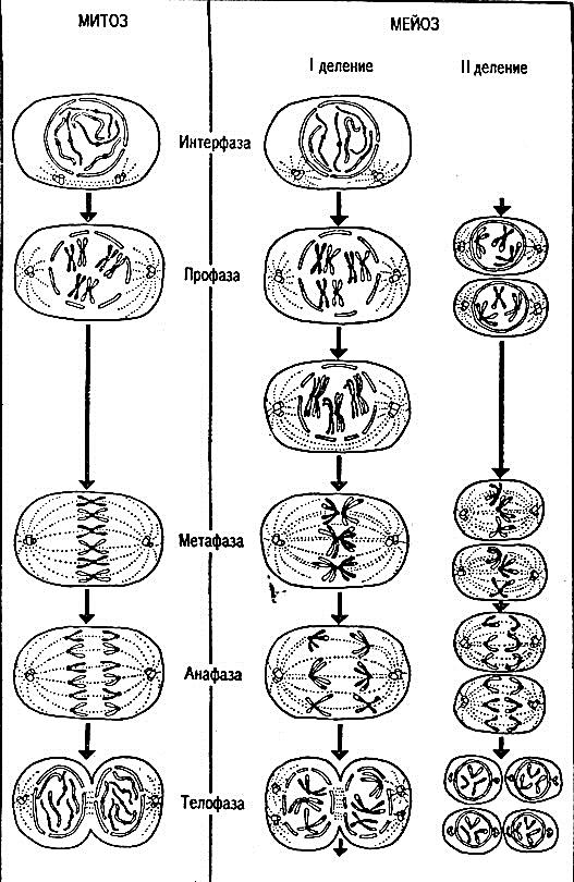 Схема митоза в картинках