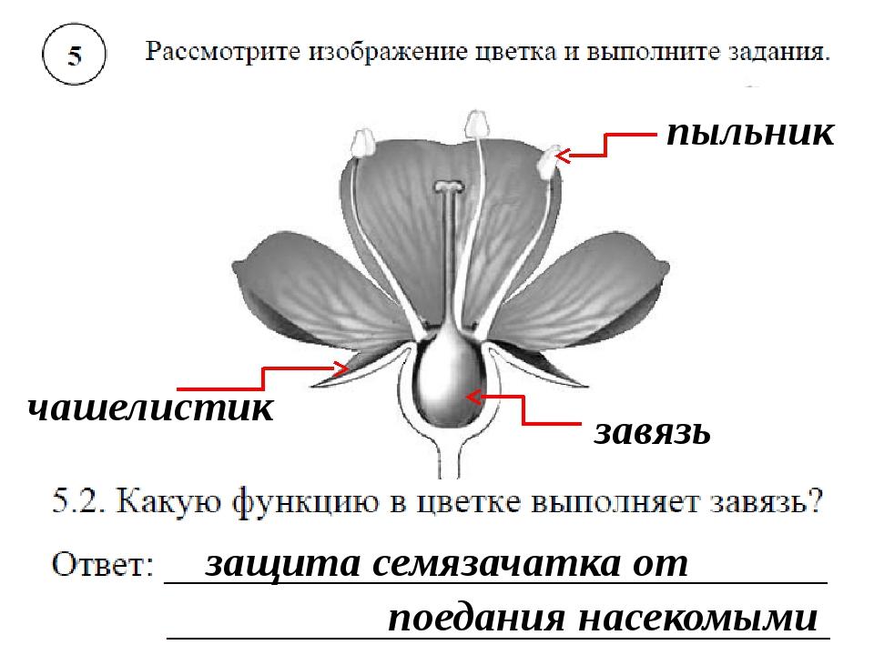 сожалению, можем завязь цветка картинка занимаюсь потому