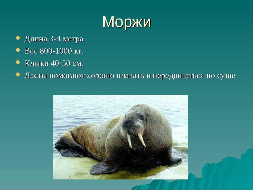 Моржи Длина 3-4 метра Вес 800-1000 кг. Клыки 40-50 см. Ласты помогают хорошо...