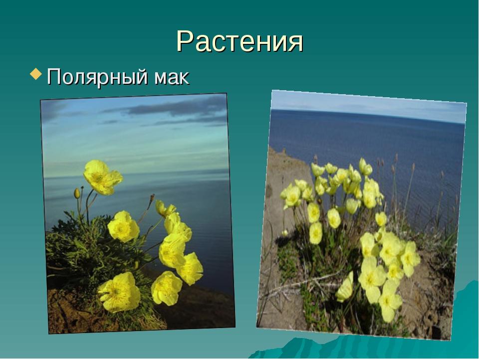 Растения Полярный мак