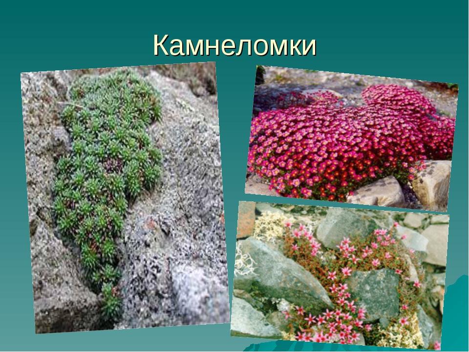Камнеломки