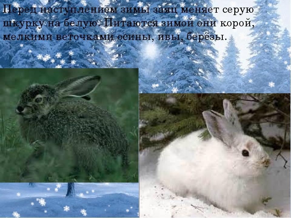 Перед наступлением зимы заяц меняет серую шкурку на белую. Питаются зимой он...