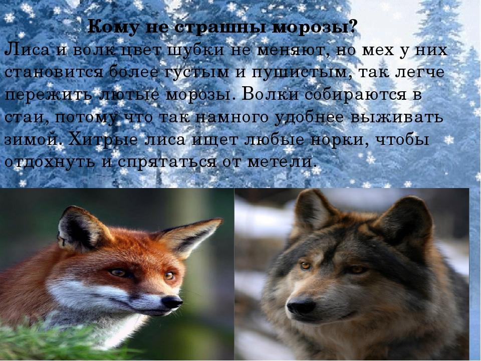 Кому не страшны морозы? Лиса и волк цвет шубки не меняют, но мех у них стано...