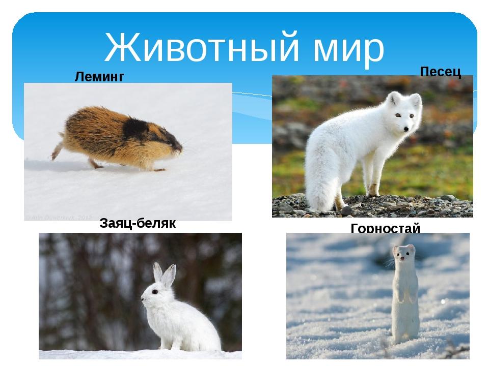 Животный мир Леминг Песец Заяц-беляк Горностай