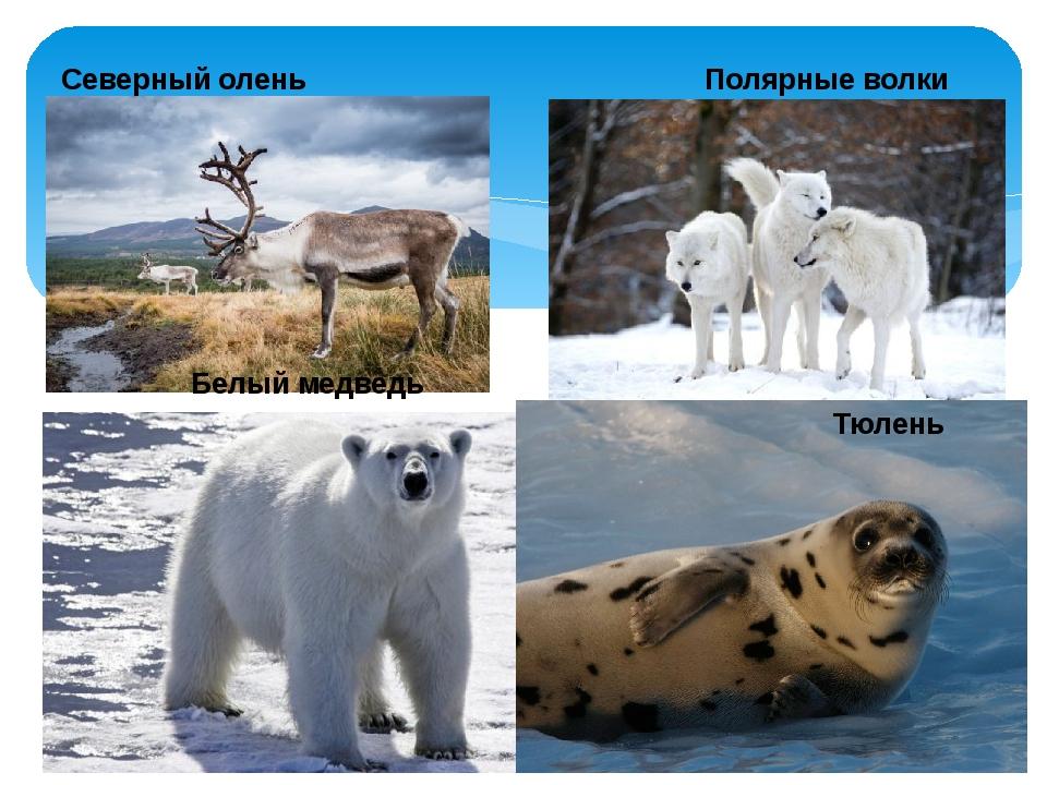 Северный олень Полярные волки Белый медведь Тюлень