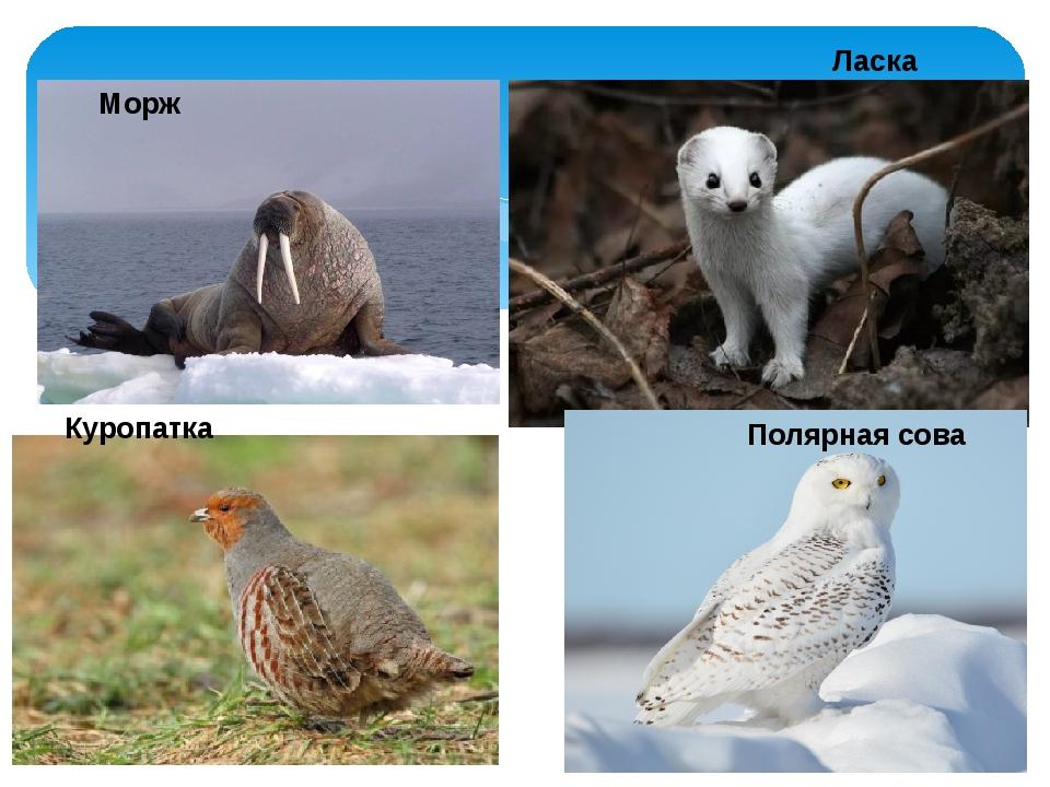 Морж Ласка Куропатка Полярная сова