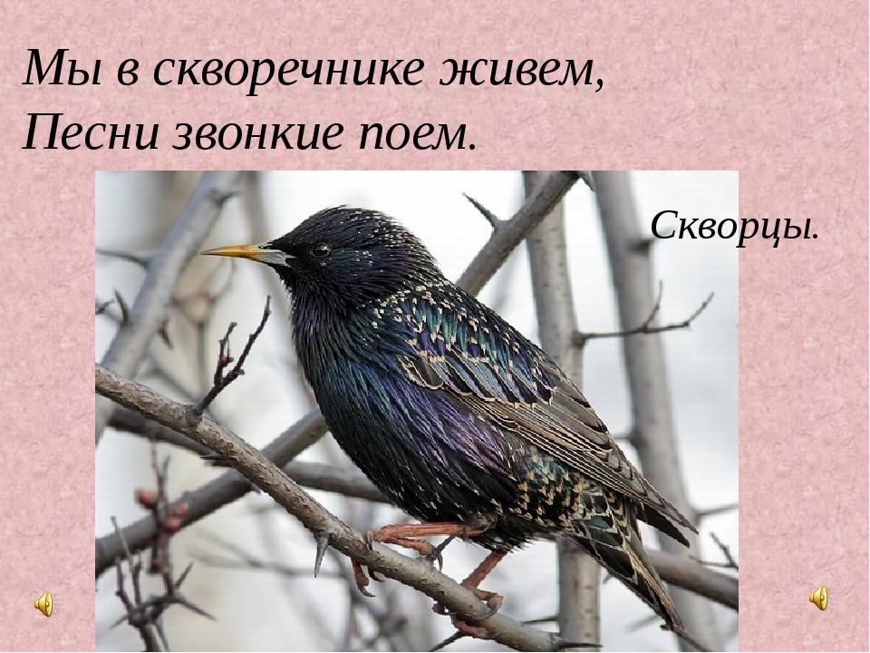 Мы в скворечнике живем, Песни звонкие поем. Скворцы.