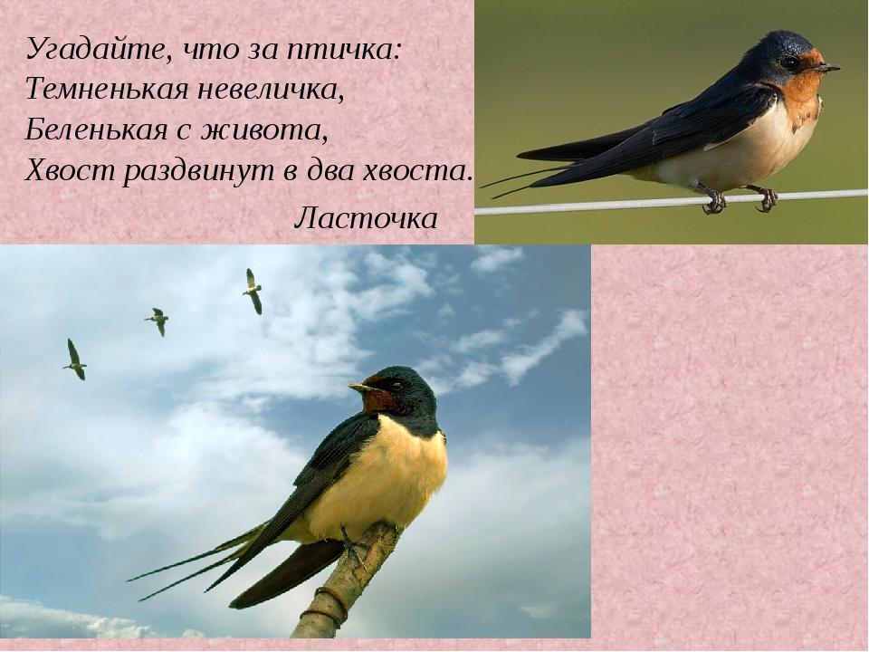 Ласточка Угадайте, что за птичка: Темненькая невеличка, Беленькая с живота, Х...