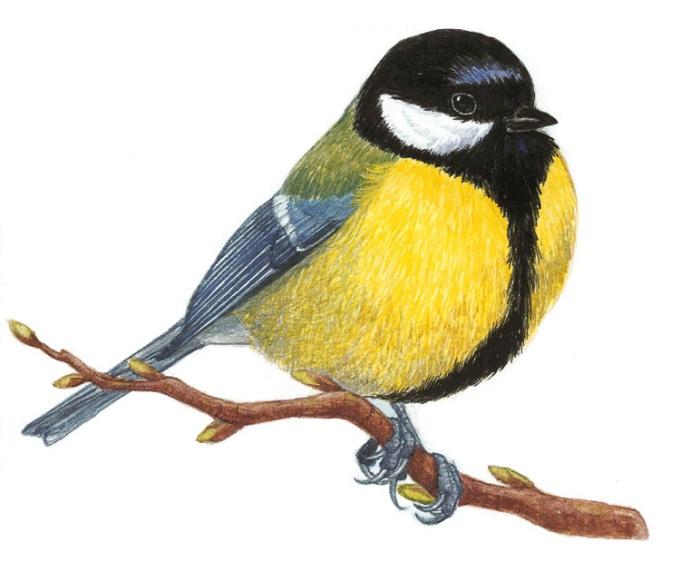 Рисунки, синички картинки для детей