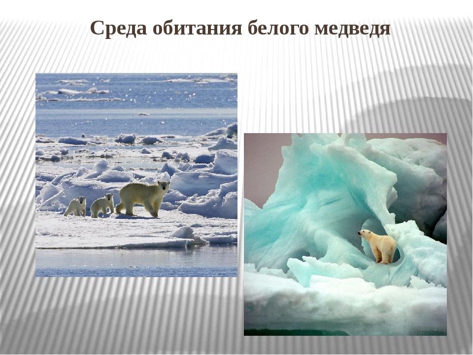 картинки среда обитания белого медведя питают большую