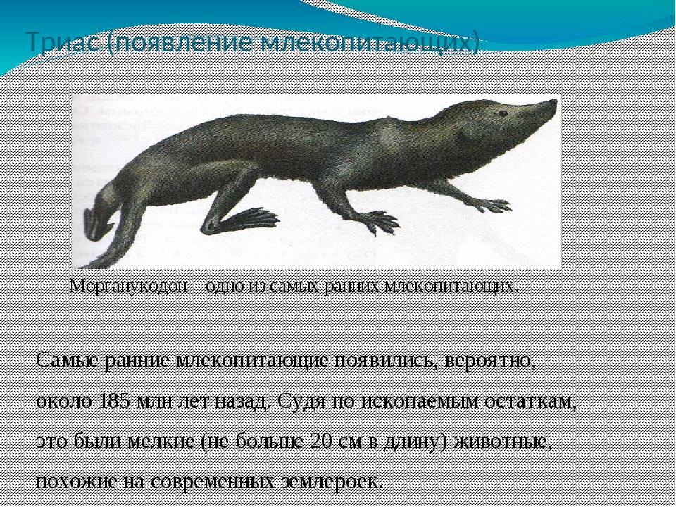 Триас (появление млекопитающих) Морганукодон – одно из самых ранних млекопита...