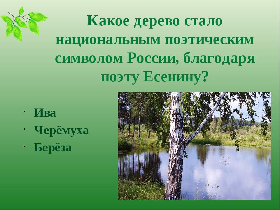 Какое дерево стало национальным поэтическим символом России, благодаря поэту...