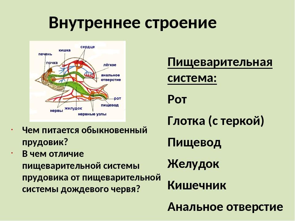 Внутреннее строение Пищеварительная система: Рот Глотка (с теркой) Пищевод Же...