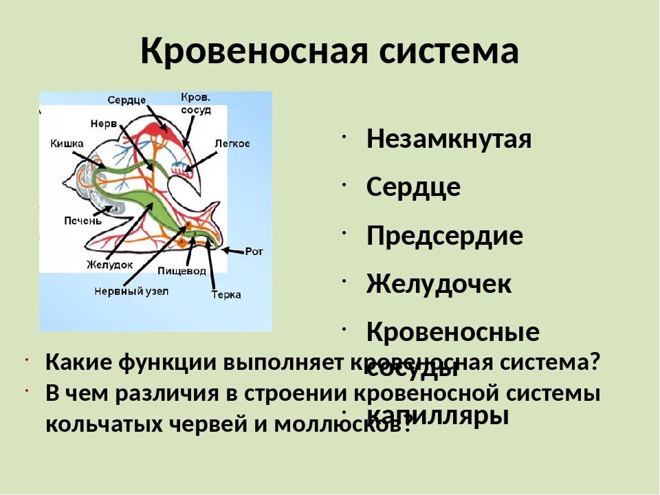 Кровеносная система Незамкнутая Сердце Предсердие Желудочек Кровеносные сосуд...