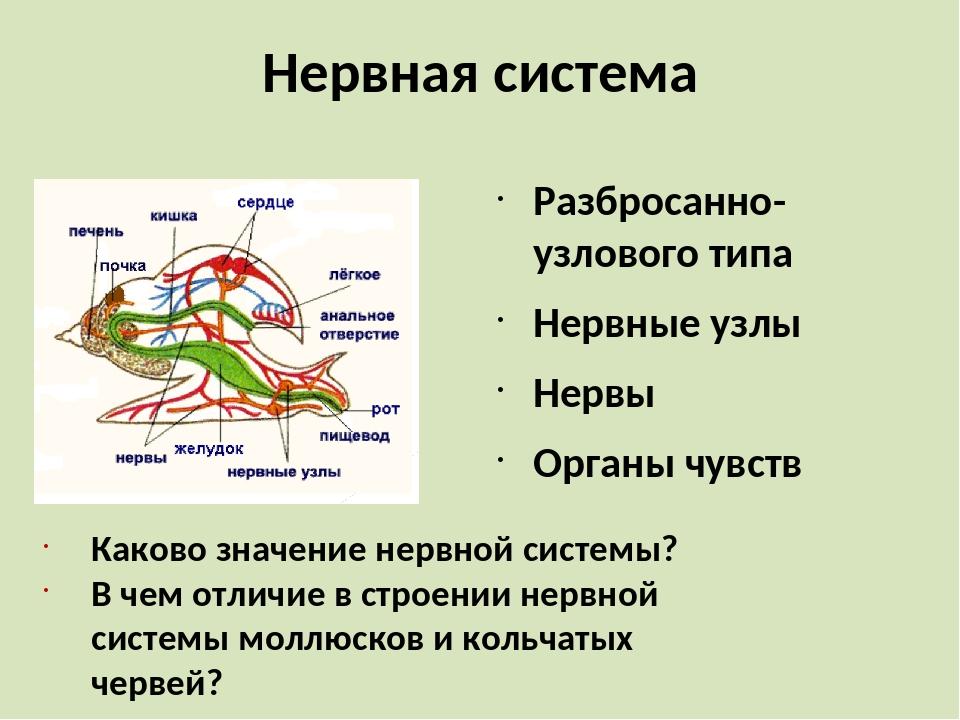 Нервная система Разбросанно-узлового типа Нервные узлы Нервы Органы чувств Ка...