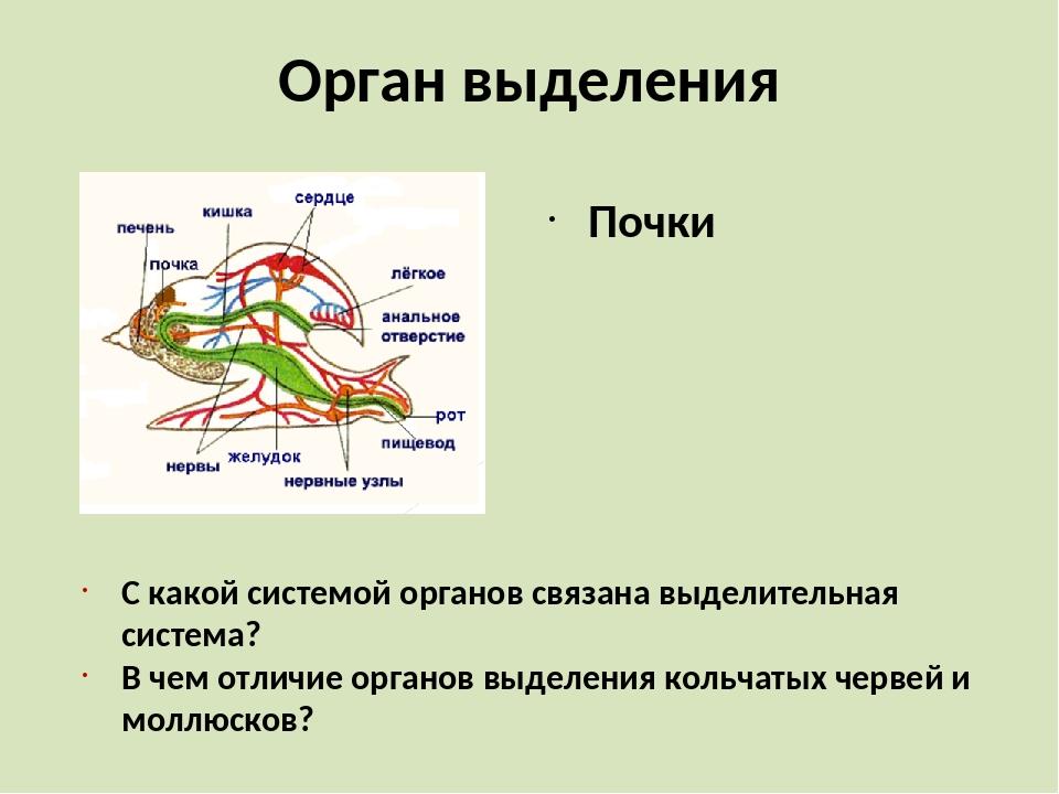 Орган выделения Почки С какой системой органов связана выделительная система?...