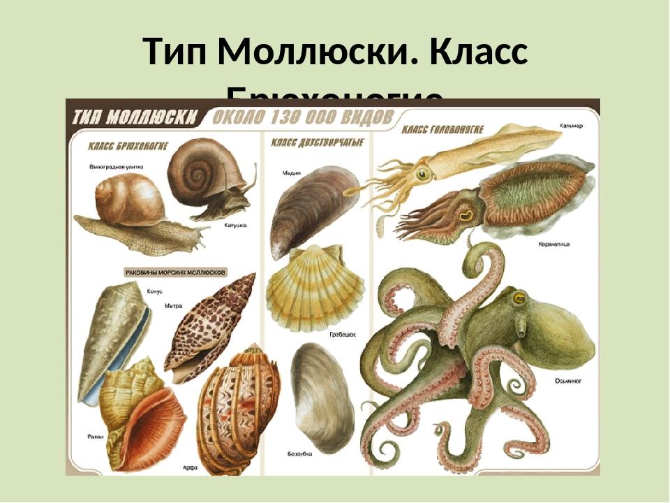 Тип Моллюски. Класс Брюхоногие