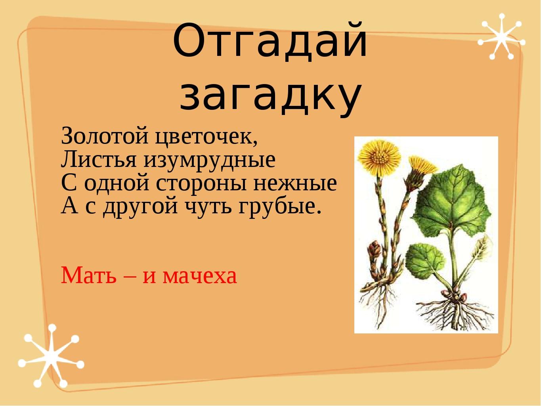 Отгадай загадку Золотой цветочек, Листья изумрудные С одной стороны нежные А...