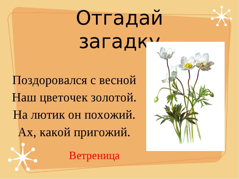 Отгадай загадку Поздоровался с весной Наш цветочек золотой. На лютик он похож...