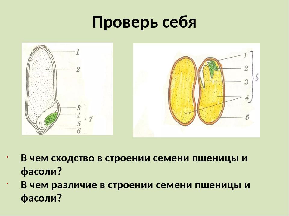 Проверь себя В чем сходство в строении семени пшеницы и фасоли? В чем различи...
