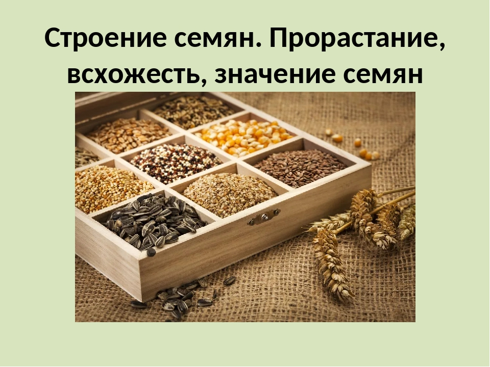 Строение семян. Прорастание, всхожесть, значение семян