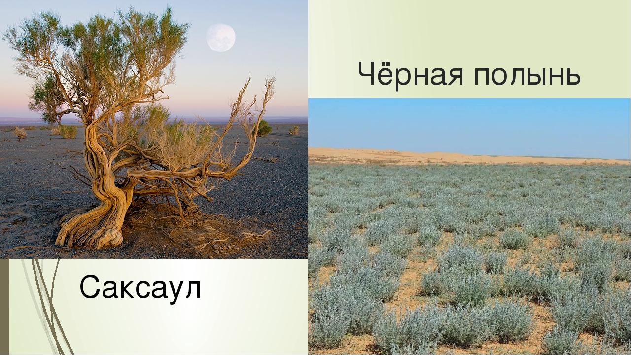 Растения пустынь и полупустынь картинки