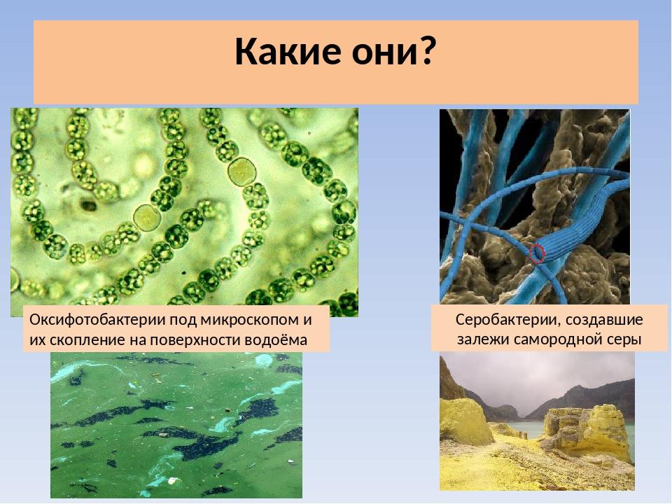 предоставляется подцарство архебактерии и оксифотобактерии нем изображены