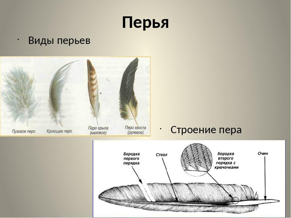 картинки строение пера птицы сигны