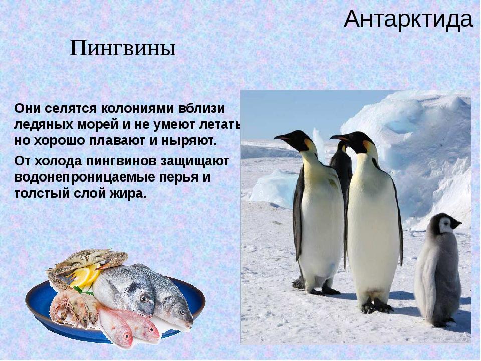 Они селятся колониями вблизи ледяных морей и не умеют летать, но хорошо плав...