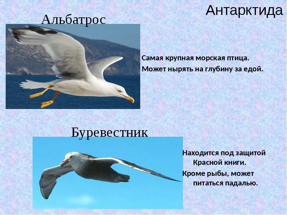 Антарктида Альбатрос Буревестник Самая крупная морская птица. Может нырять на...