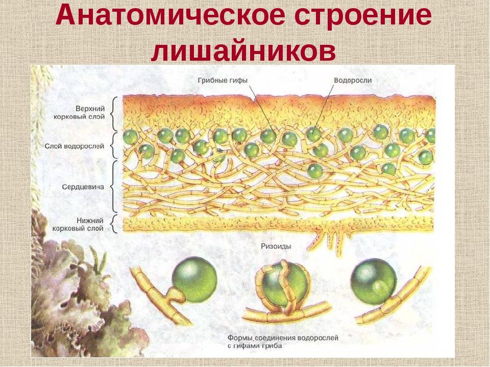Анатомическое строение лишайников