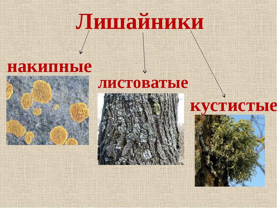 Лишайники накипные листоватые кустистые