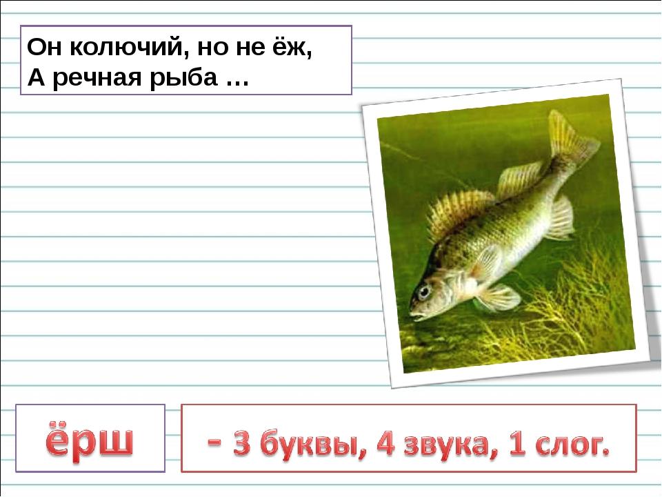 Он колючий, но не ёж, А речная рыба …