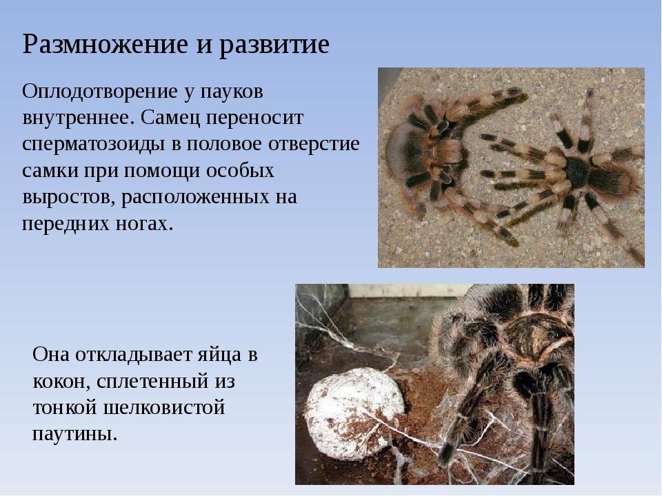 Размножение и развитие Оплодотворение у пауков внутреннее. Самец переносит сп...
