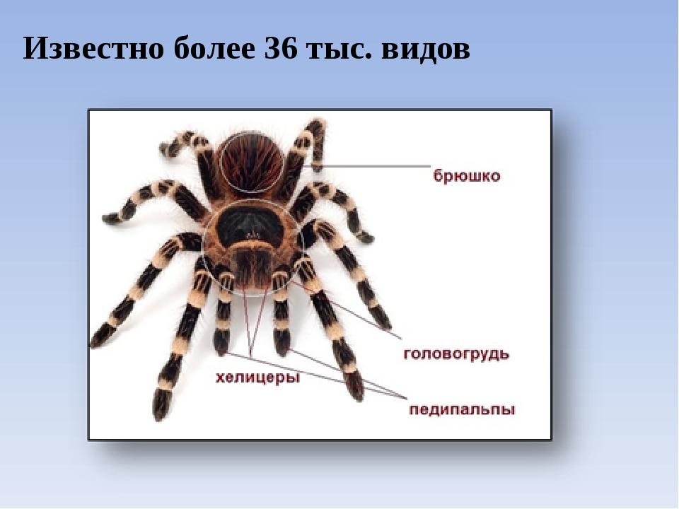 Известно более 36 тыс. видов