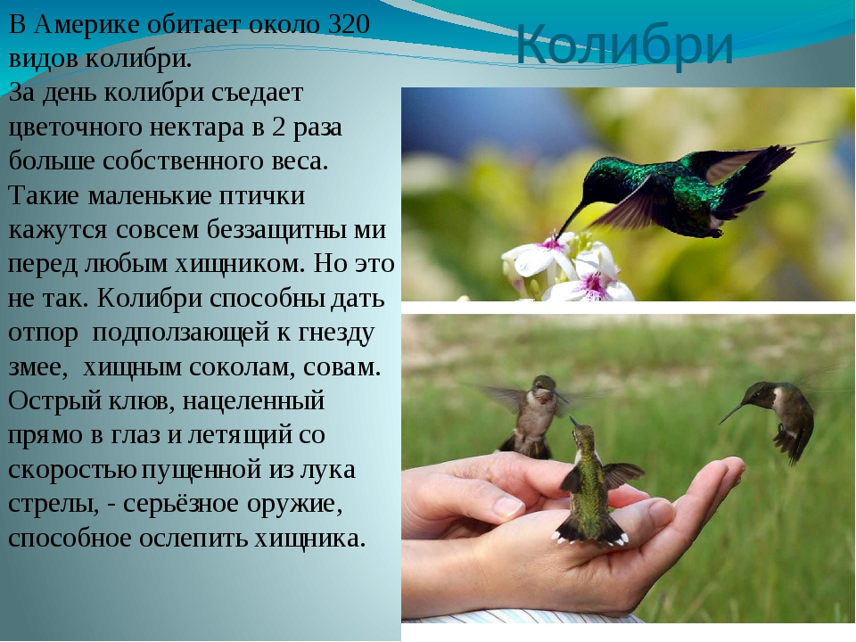 Колибри В Америке обитает около 320 видов колибри. За день колибри съедает цв...